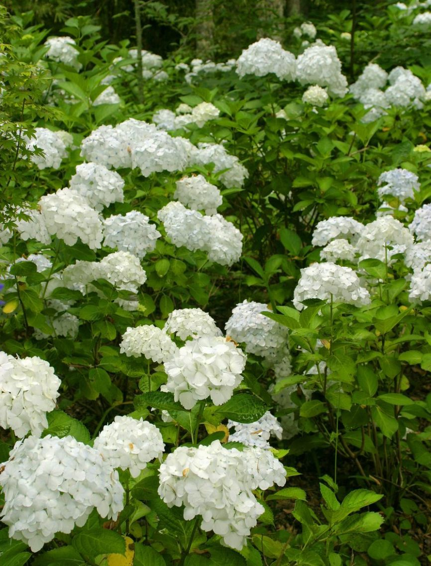 Common Flowering Shrubs For Zone 8 - Picking Shrubs That Bloom In ..