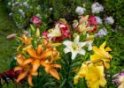 Common Zone 9 Perennials: Choosing Perennials For Zone 9 Landscapes