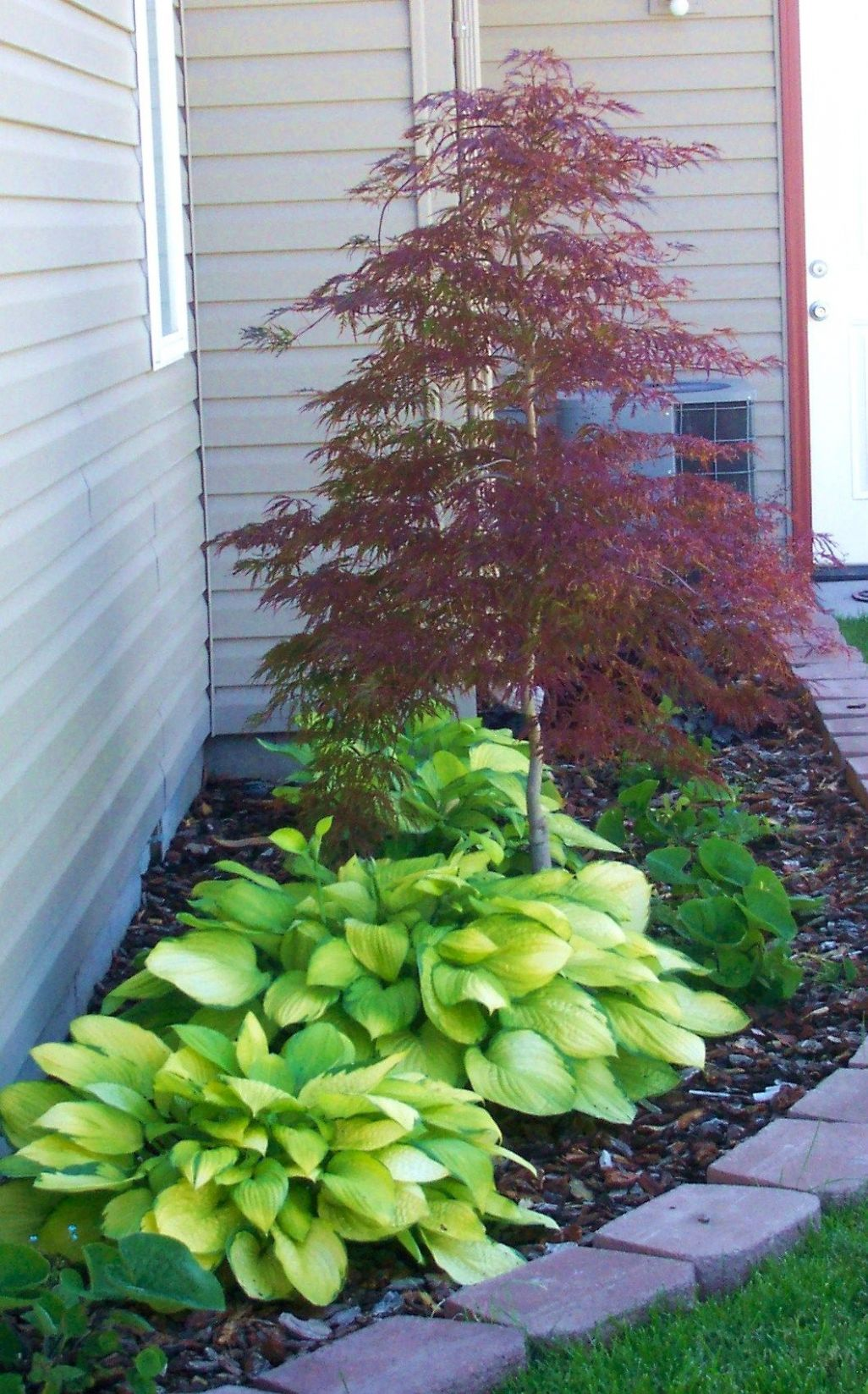 Japanese maple & hostas | Backyard landscaping, Shade garden, Yard ...
