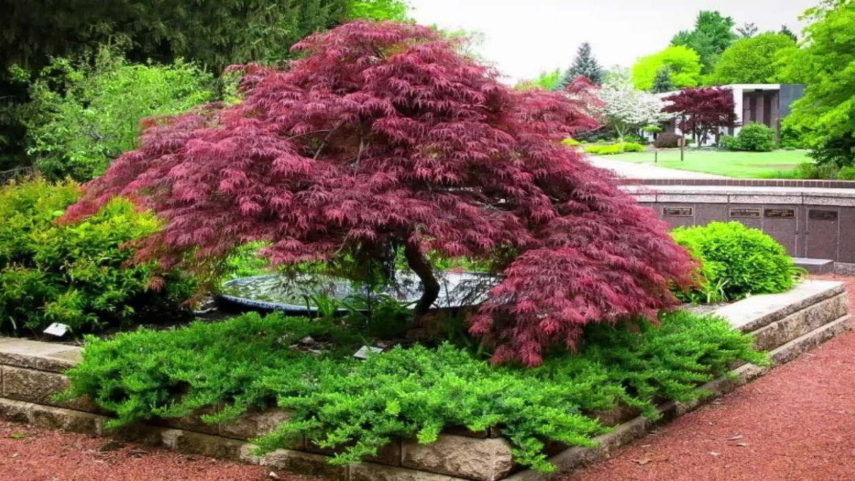 Japanese Maple Garden Design - YouTube