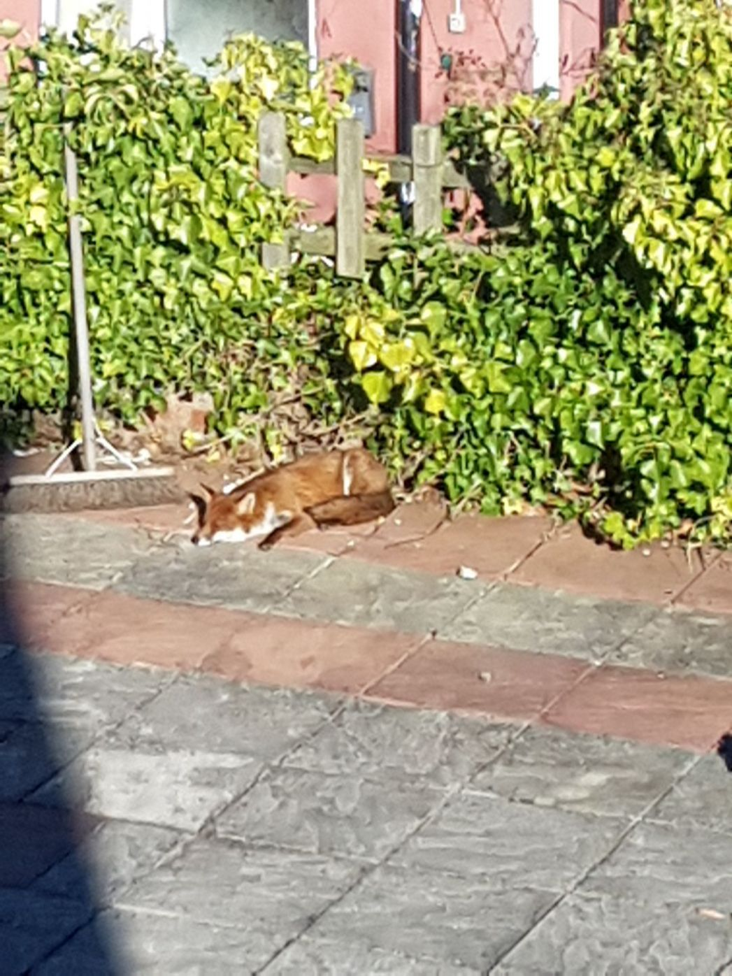 To leave some food out for the fox in our garden